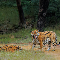 But 6th Nov 2015, is the day when all stars came in the constellations and me and my 2 friends sighted and Photographed not one not 2 ... but 5 different tigers in a single day.<br /> This is the moment from The Evening that day.. <br /> When we were in search of Leopards, saw tracks of Huge pugmark of a male tiger. Size of the Pugmark was suggesting that its something very huge in size. We kept following the tracks.<br /> pugmarks were getting lost in between and again we were getting them on the track.<br /> At one point pugmarks were lost and we halted to see if we can get any alarm calls. At that very moment, here comes the HUGE ROAR.... Brain signalled Shiver from the head to toe. <br /> It was came loud and clear from the direction in which we were heading. We quickly started driving the in front. Again a junction, so stopped for sounds to confirm the direction and ... <br /> Multiple roars one after other like some huge drums are beating near by. <br /> I figured out that there are more than one tiger and they are close by ahead. there was a small climb which we drove up and we saw something which was beyond imagination at Satpura. <br /> Face off between Two Huge full grown tigers. One was Male and other was female. <br /> Male was so huge that female was looking like a small sub adult cub in front of him.<br /> Male was huge Dominant Male from Lagda Region also known as &quot;Bear Killer&quot;. Female was some new female. <br /> When we spotted the pair for the 1st time, it looked like Male was on High and wanted to mate with the female as seen in the picture that he is picking up the scents by circling the female by showing &quot;Flehman's Response&quot;. Female who was much smaller in size was all scared and looked like poor and helpless. <br /> And Male was clearly showing his dominance and Female showing dislike and resistance. <br /> Male was so huge that his belly was almost touching the ground. While he was Circling the female, the only Name what i c