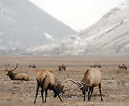 Price Chambers / JACKSON HOLE DAILY.U.S. Fish and Wildlife has proposed a plan to reduce the number of elk that winter on the National Elk Refuge through hunting and a reduction in supplemental feeding. Environmentalists fear the measures wont go far enough to help control disease in the herds. These bull elk size each other up in a dance of dominance earlier this winter.