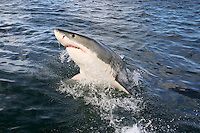Great white shark breaching in Mossel Bay, South Africa