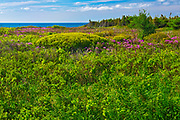 Laurel on the shoreline on the  south shore of Miramichi Bay, Escuminac, New Brunswick, Canada