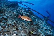 Coral hind-Vieille de corail (Cephalopholis miniata) of Red Sea.