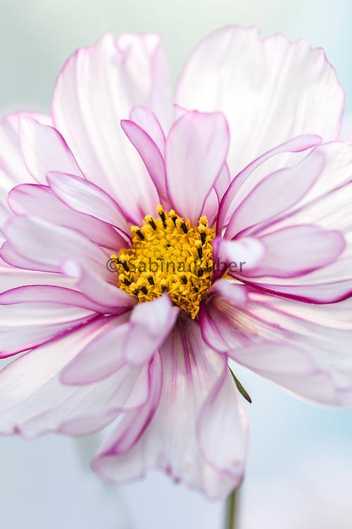 Cosmos bipinnatus 'Sweet Sixteen' - garden cosmos