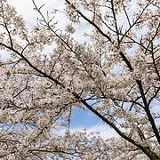 NLD/Amstelveen/20200318 - Bloesempark Amstelveen, Kersenbloesemboom