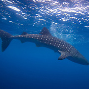 A general underwater photo shows full-length of a Whale Shark (Rhincodon typus) diving in Gladden Spit and Silk Cayes Marine Reserve, off the coast of Placencia, Stann Creek, Belize.
