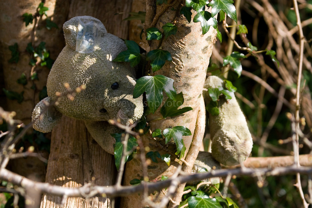 Discarded teddy bear stuck in a tree beside the river Slaney, Wexford. Toys such as these are often left in trees after being recovered from the water - for them to find a second owner!..