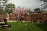 A peach tree blooms in Marktown.<br /> <br /> --<br /> <br /> American industry disproportionately affects the health of minority and low-income communities. East Chicago, Ind. &oacute; once the country&iacute;s &igrave;most industrialized municipality&icirc; &oacute; offers a view of environmental injustices emerging throughout the Rust Belt.&dagger;<br /> <br /> Nearly 80 percent of the city&iacute;s 11 square miles is zoned for heavy industry. Toxic levels of lead, arsenic and other pollutants contaminate water, soil and air.&dagger;<br /> <br /> In July 2016, nearly 1,200 people in the West Calumet neighborhood learned that children had blood-lead levels six times the Center for Disease Control&iacute;s recommendation for intervention. As mandated, residents began to move, but some remain as they struggle to find housing in the city of 29,000.&dagger;<br /> <br /> &igrave;We feel like we're just being thrown out,&icirc; Nayesa Walker said. Her 3-year-old daughter&iacute;s blood tested high for lead.&dagger;<br /> <br /> In a letter to residents, East Chicago Mayor Anthony Copeland wrote, &igrave;your health and safety are my first priority,&icirc; but many say they cannot trust the government for basic services. Recently, the Environmental Protection Agency announced some of the city&iacute;s drinking water also contains high levels of lead, prompting Indiana Gov. Eric Holcomb to declare a disaster emergency for the Superfund site just south of West Calumet.&dagger;<br /> <br /> Two miles north, the century-old Marktown neighborhood is vanishing. British Petroleum is buying and demolishing the homes surrounding its oil refinery.&dagger;<br /> <br /> &quot;How much money will replace 56 years' worth of memories?&quot; life-long resident Kim Rodriguez asked. &quot;I am rich in history here.&icirc;&dagger;<br /> <br /> The refinery outside Marktown also pollutes the air and nearby Lake Michigan. Annually, BP's Whiting Refinery outputs 2.2 million tons of the harmfu