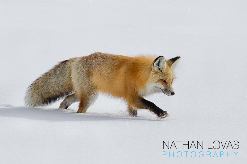 Red Fox In Snow; Yellowstone NP.