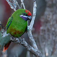 The only member of its genus, the Plum-faced Lorikeet (Oreopsittacus arfaki) is endemic to the montane cloud forests of New Guinea.