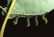 Although these insects may look like caterpillars, they are actually larvae of the Dusky Birch Sawfly (Croesus latitarsus), a type of bee in the Hymenoptera ordera. When feeling threatened, they all rasie up from their host plant (often river birch, Betula nigra) in unison in this impressive display to ward potential predators.