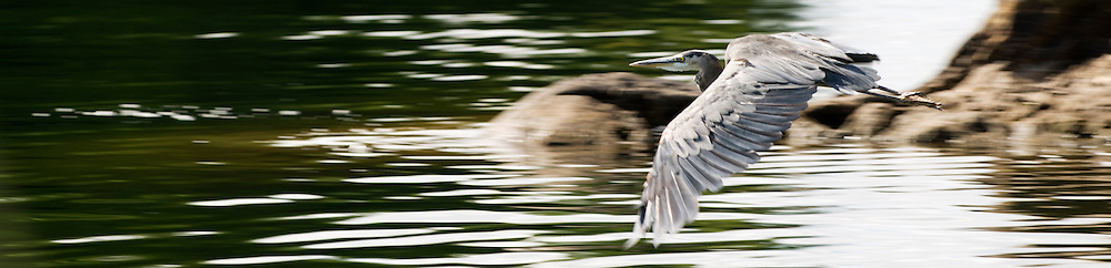 A Great Blue Heron gliding over water on Heaney Lake, Qc.