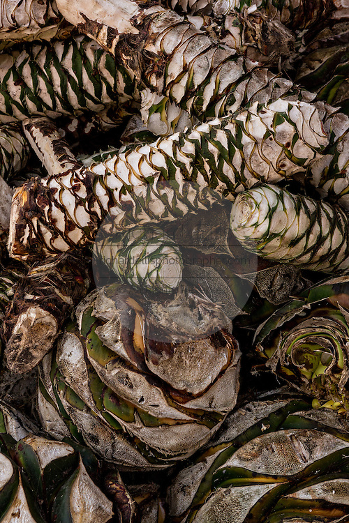 A pile of fresh blue agave hearts waits to be roasted in a fire pit at an artisanal Mezcal distillery November 5, 2014 in Matatlan, Mexico. Making Mezcal involves roasting the blue agave, crushing it and then fermenting the liquid.