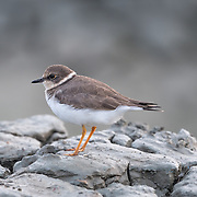 The little ringed plover (Charadrius dubius) is a small plover found on the gulf coast of Thailand.
