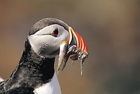 Atlantic Puffin with sand eels in beak<br /> Fratercula arctica<br /> Birds<br /> Fauna<br /> Flora and Fauna