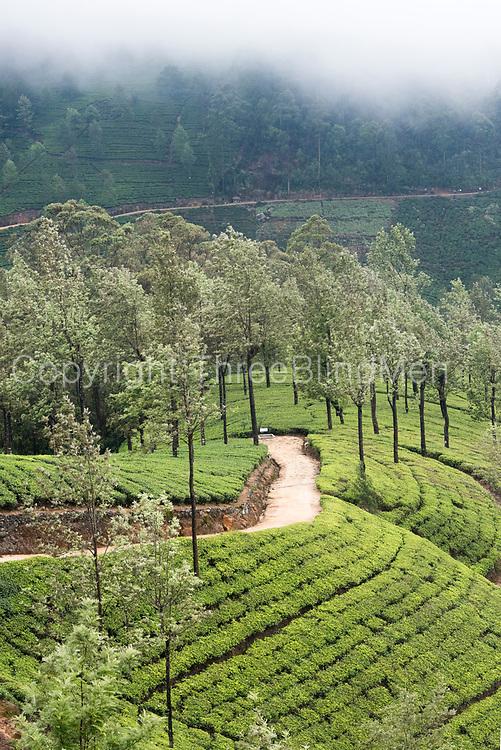 Tea estate - Bogawantalawa valley.