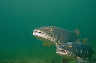A pair of Musky spawning<br /> <br /> ENGBRETSON UNDERWATER PHOTO