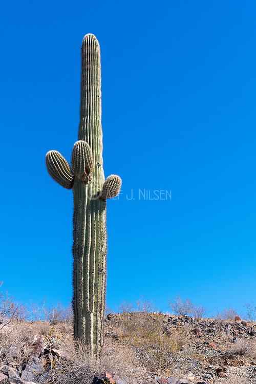 Saguaro cactus from Phoenix, Arizona, USA