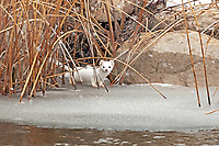 A Long Tailed Weasel travels the banks of the Bear River supporting its winter phase color of white in northern Utah.