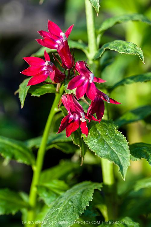 Cardinal flower (Lobelia cardinalis) a North American native flowering perennial.