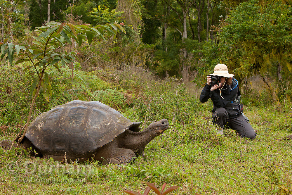 A tourist photographs a giant galapagos tortoise (Geochelone elephantopus) in the Highlands of Santa Cruz Island, Galapagos Archipelago - Ecuador. (Fully released 82210GGt)