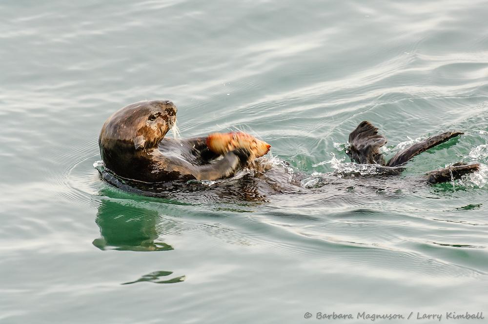 Sea Otter [Enhydra lutris] feeding; using rock to open crab, Morro Bay, California