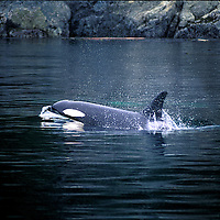 Killer Whales also called Orca