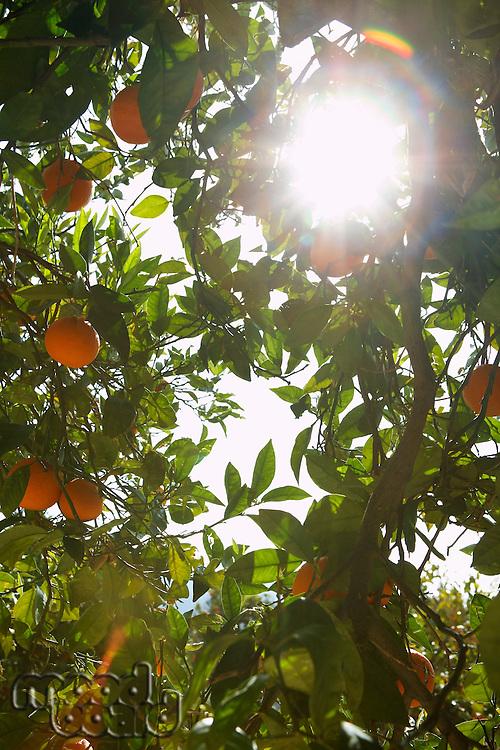 Sunlight breaking through orange tree