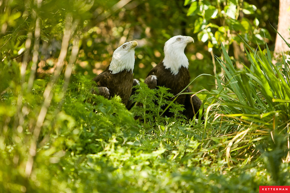 Two bald eagles at the Jacksonville Zoo in Florida.