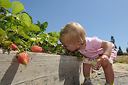 16-month-old Naomi Newell of Camarillo decides it's easier to eat her family's strawberries straight from the vine during First Baptist Church's Community Garden Earth Day Celebration in Camarillo on April 20, 2013. The Newell family has two plots in the community garden and grows a variety of fruits and vegetables like strawberries, artichokes and Swiss chard.