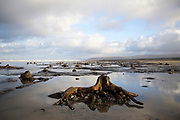 BORTH, WALES, UK 17TH MARCH 2020 - Landscape of ancient petrified tree stumps lining the shoreline at Borth Beach, County of Ceredigion, Mid Wales, UK. <br />