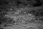 Mimetic Ungulates   <br /> <br /> Grumeti, Tanzania August 2013  A herd of elan and a couple of zebras graze on the side of a mountain. (Essdras M Suarez/ EMS Photography&copy;)