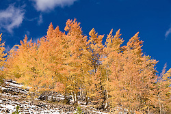 Breckenridge, Colorado:  Red touches in golden aspens.