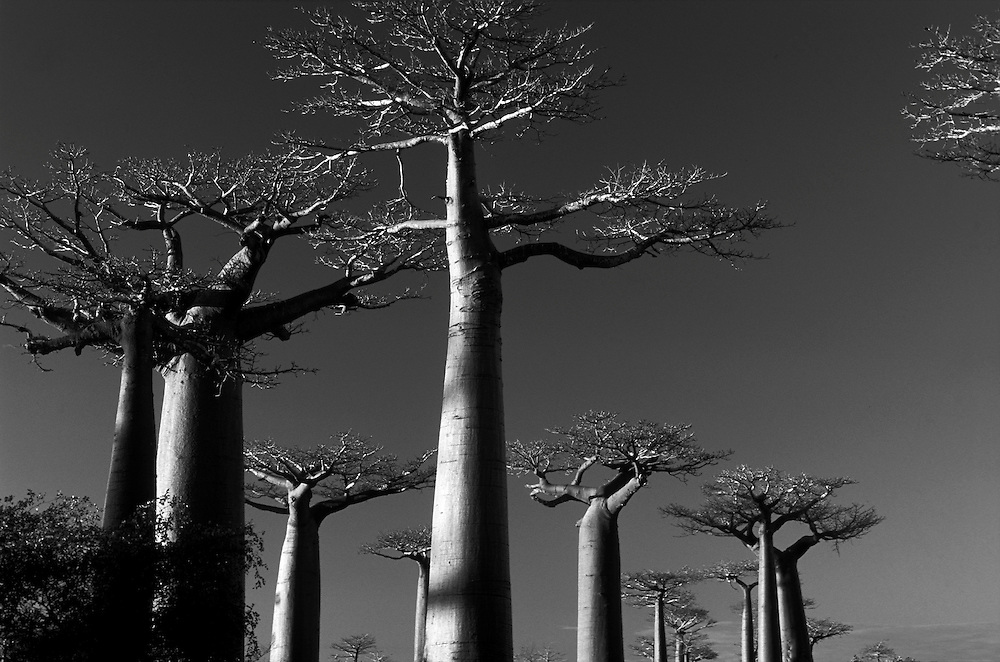 Unesco World Heritage Site: The Avenue of the Baobabs (Avenue des Baobabs).
