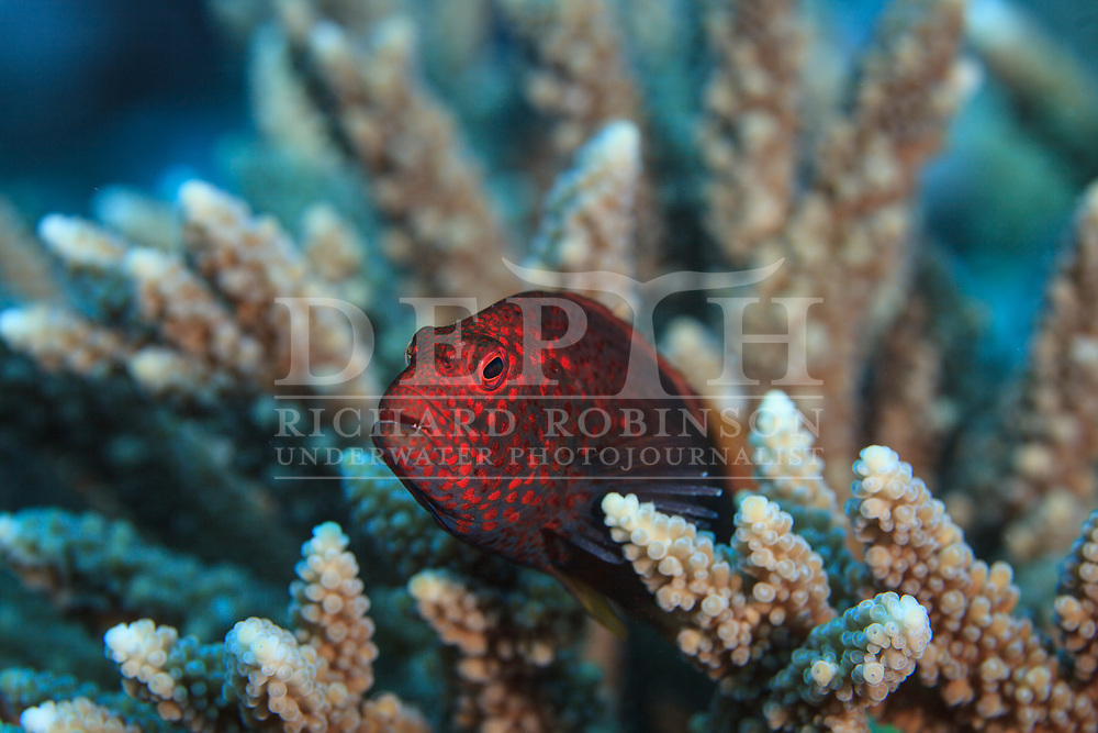 Paracirrhites forsteri (Blackside Hawkfish) also known as the Freckled hawkfish or Forster's hawkfish at Palmerston Atoll in the Cook Islands.<br /> Saturday 03 January 2015<br /> Photograph Richard Robinson &copy; 2015
