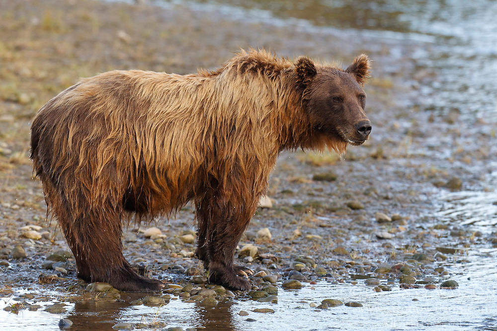 North American brown bear / coastal grizzly bear (Ursus arctos horribilis) sow stands on the banks of a creek, Lake Clark National Park, Alaska, United States of America