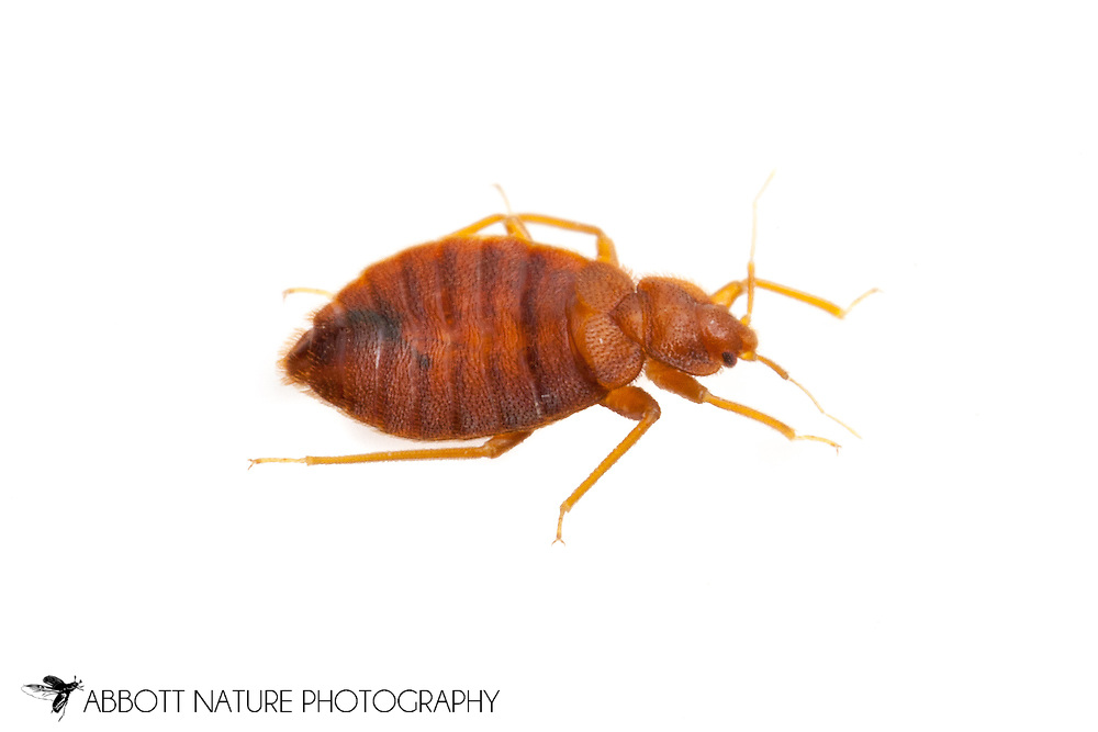 Bed Bug (Cimex lectularius)<br /> TEXAS: Travis Co.<br /> Austin<br /> 11.Oct.2011 N30.26715 W97.74306<br /> J.C. Abbott