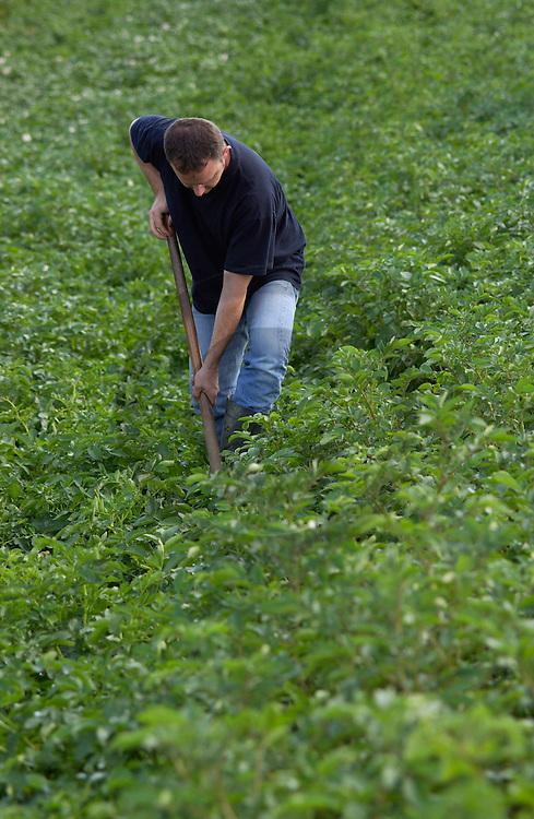 31/07/02 - GIRONDE - PUY DE DOME - FRANCE - Champs de pommes de terre chez Jules CARTAILLER - Photo Jerome CHABANNE