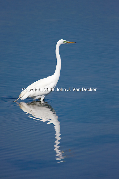Great Egret, Ardea alba, with reflection in a salt marsh