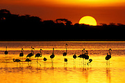 Lesser and Greater Flamingos at Sunset<br /> Phoenicopterus ruber roseus (greater) and Phoeniconaias minor (lesser)<br /> Lake Masek, Ngorongoro Conservation Area, Tanzania
