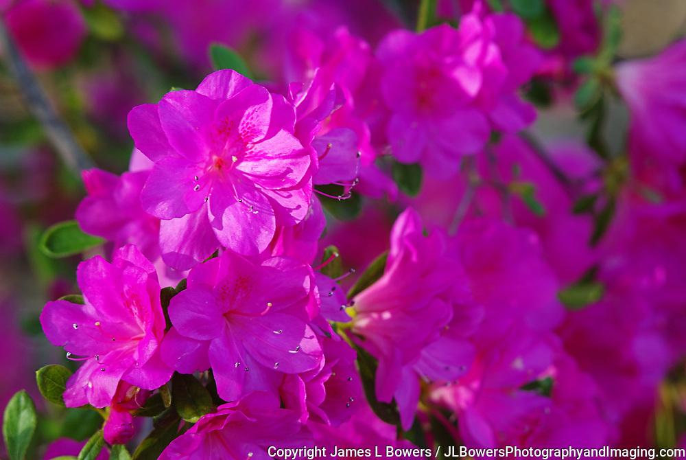 Azeleas Dark Pink