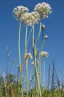 Wild Onion, Llano County