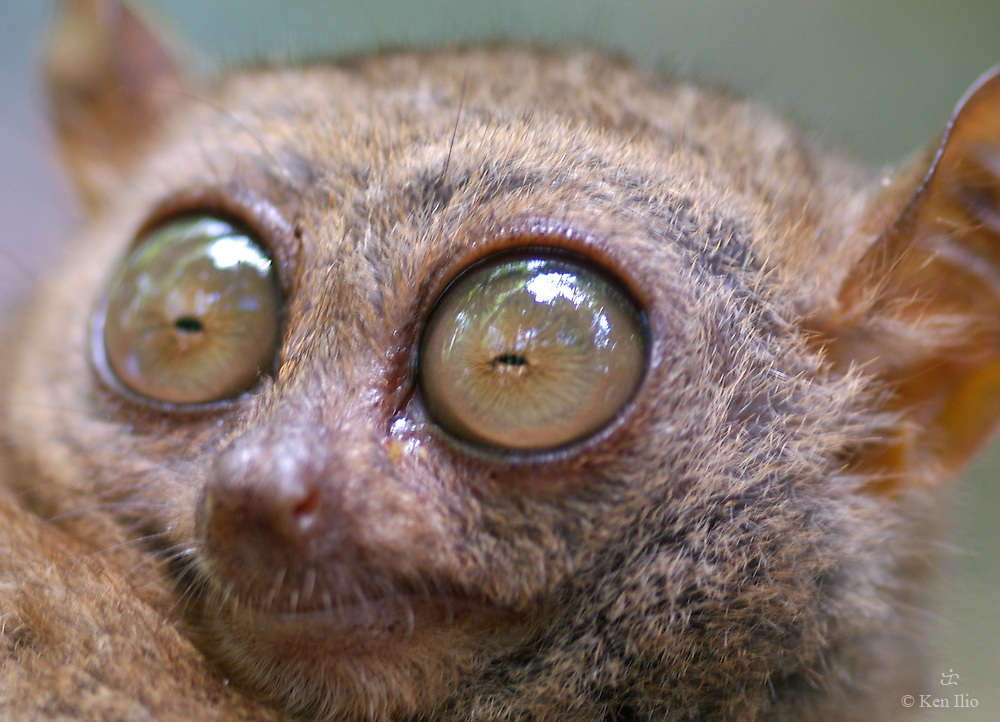Tarsier (Tarsus syrichta), one of the smallest primates in the world