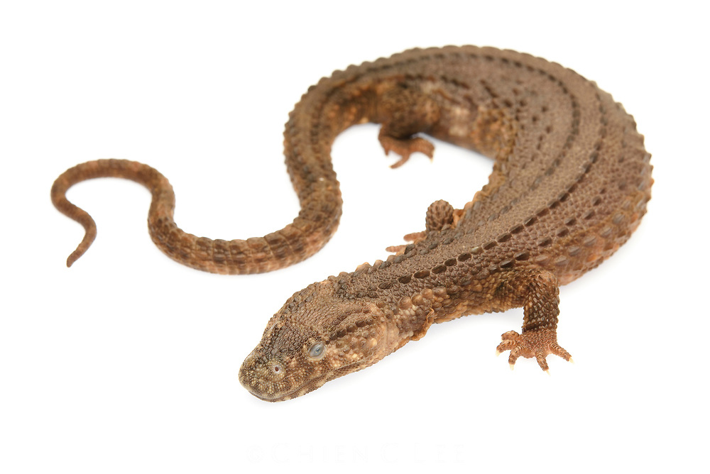 The Earless Monitor Lizard (Lanthanotus borneensis) is endemic to Borneo where it lives in rocky stream habitats in lowland rainforest. Because of its extreme rarity (it is known from only a few specimens), its life history remains unstudied. It is the only species within its entire family (Lanthanotidae) and was once though to be the missing link between lizards and snakes.