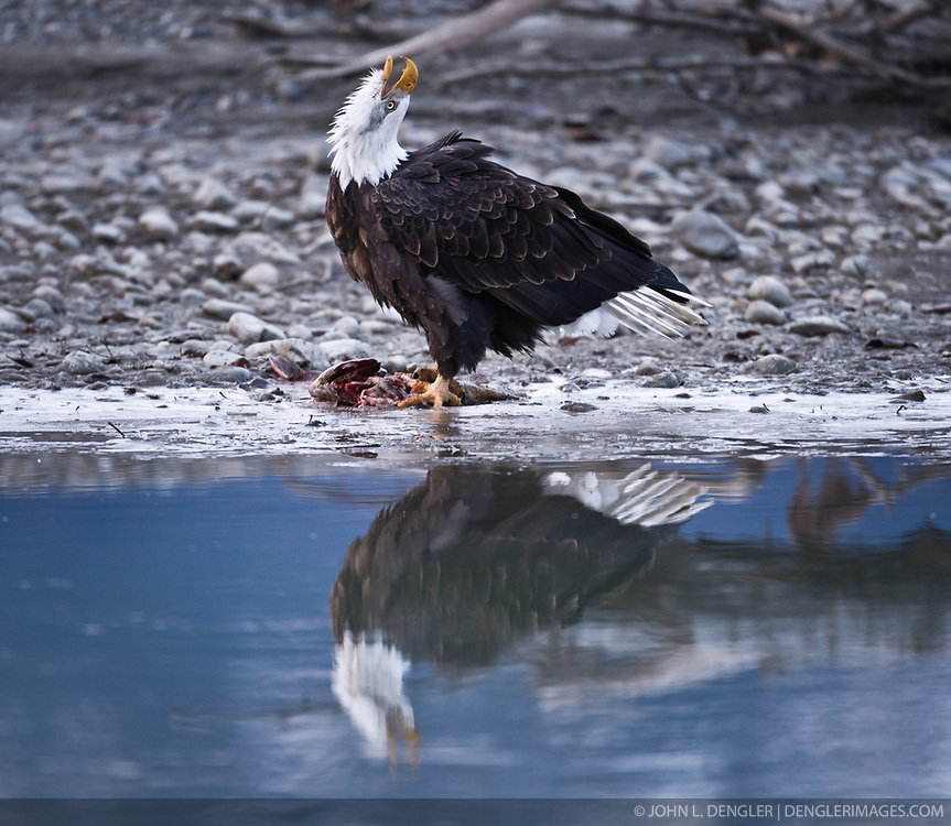A bald eagle (Haliaeetus leucocephalus) is reflected in the river as it calls out to claim a salmon in the Alaska Chilkat Bald Eagle Preserve along the Chilkat River near Haines, Alaska. During late fall, bald eagles congregate along the Chilkat River to feed on salmon. This gathering of bald eagles in the Alaska Chilkat Bald Eagle Preserve is believed to be one of the largest gatherings of bald eagles in the world.