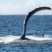 Humpback whale (Megaptera novaeangliae) lying on its side while executing a series of pectoral fin slaps on the ocean surface. Note the flexibility of the pectoral fin.