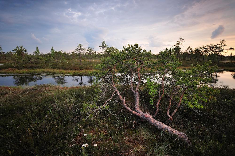 Bog forest, Kemeri National Park, Latvia