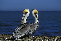 Two Brown Pelicans (pelecanus occidentalis) on shore