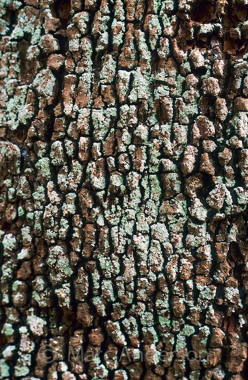 Light blue lichen on the bark of a rainforest tree, Australia.