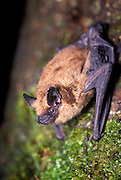 A Big Brown Bat (Eptesicus fuscus) roosting on tree bark. Forest park