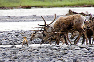 Photo of a Caribou calf crossing the Kongakut River in the Arctic National Wildlife Refuge, Alaska