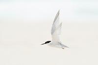 Endangered Damara Tern in flight, De Mond Nature Reserve, Western Cape, South Africa